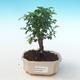 Indoor bonsai - Sagerécie thea - Sagerécie thea PB2191275 - 1/4