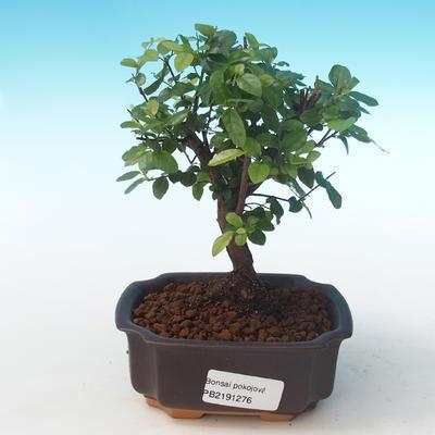 Indoor bonsai - Sagerécie thea - Sagerécie thea PB2191276 - 1