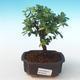 Indoor bonsai - Sagerécie thea - Sagerécie thea PB2191276 - 1/4
