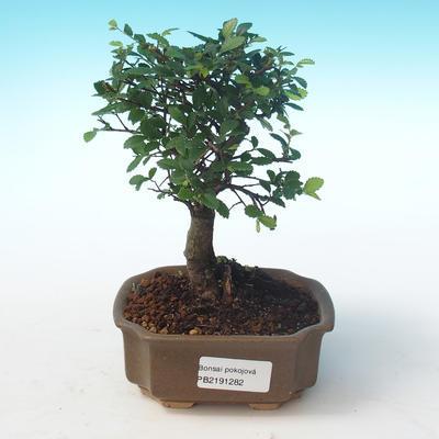 Indoor bonsai-Ulmus Parvifolia-Small leaf elm PB2191282