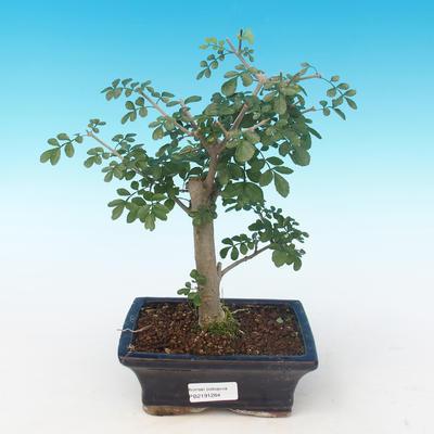 Indoor bonsai - Fraxinus uhdeii - Indoor Ash PB2191284 - 1