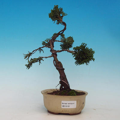 Cypress obtusa VB13131 - 1