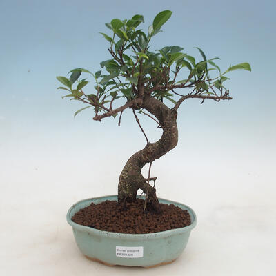 Indoor bonsai - Ficus retusa - small-leaved ficus