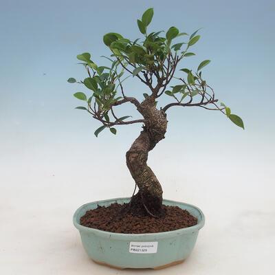Indoor bonsai - Ficus retusa - small-leaved ficus