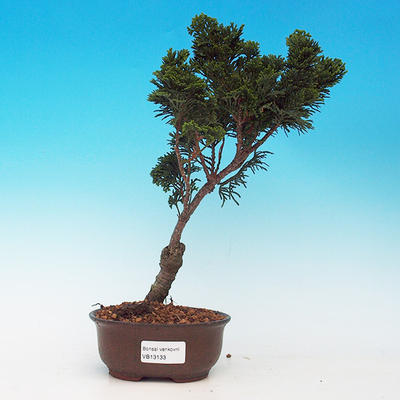 Cypress obtusa VB13133 - 1