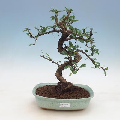 Indoor bonsai - Carmona macrophylla - Tea fuki - 1