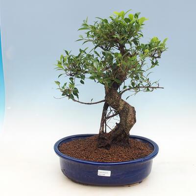 Room-bonsai ficus Ficus retusa- malolistý - 1