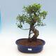 Room-bonsai ficus Ficus retusa- malolistý - 1/2