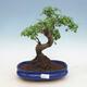 Indoor bonsai -Ligustrum chinensis - Bird's beak - 1/3
