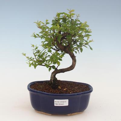 Indoor bonsai - Sagerécie thea - Sagerécie thea 2191443 - 1