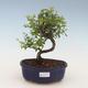 Indoor bonsai - Sagerécie thea - Sagerécie thea 2191443 - 1/4