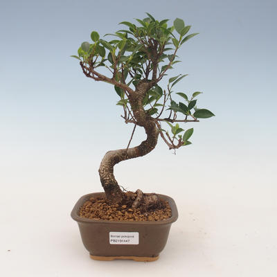 Indoor bonsai - Ficus kimmen - small leaf ficus 2191447