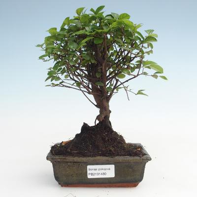 Indoor bonsai - Sagerécie thea - Sagerécie thea PB2191480 - 1