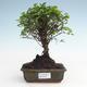Indoor bonsai - Sagerécie thea - Sagerécie thea PB2191480 - 1/4
