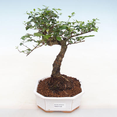 Indoor bonsai -Ligustrum chinensis - Bird's beak - 1