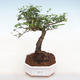 Indoor bonsai -Ligustrum chinensis - Bird's beak - 1/3