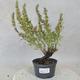 Outdoor bonsai - Satureja mountain - Satureja montana - 1/5