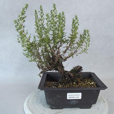 Outdoor bonsai - Satureja mountain - Satureja montana - 1