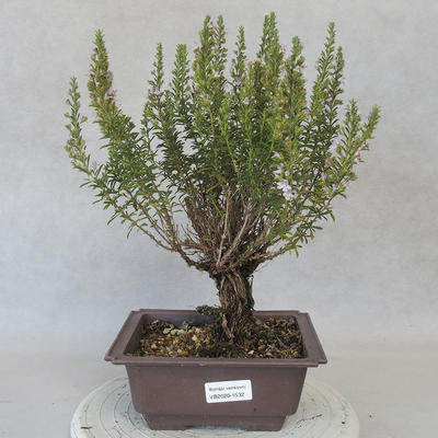 Outdoor bonsai - Satureja mountain - Satureja montana - 1