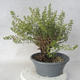 Outdoor bonsai - Satureja mountain - Satureja montana - 1/6