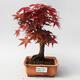 Outdoor bonsai - Maple palmatum DESHOJO - Japanese Maple - 1/5