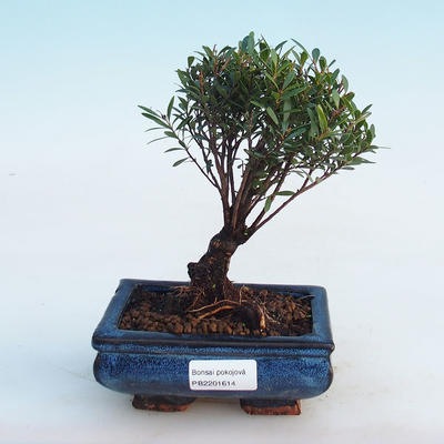 Indoor bonsai - Syzygium - Allspice - 1