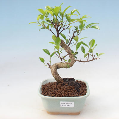 Indoor bonsai - Ficus retusa - small-leaved ficus - 1