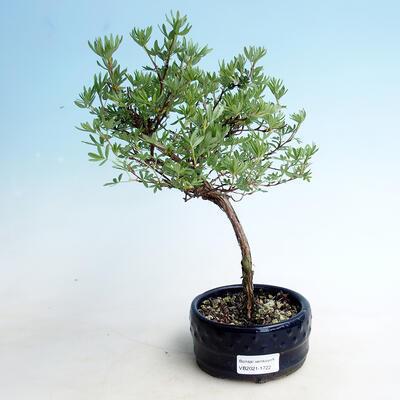Outdoor bonsai-Cinquefoil - Potentilla fruticosa Goldfinger - 1