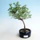 Outdoor bonsai-Cinquefoil - Potentilla fruticosa Goldfinger - 1/2