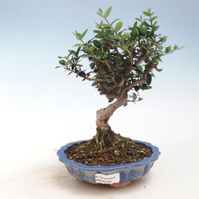 Indoor bonsai - Olea europaea sylvestris - European small-leaved olive oil - 1