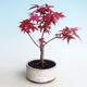 Outdoor bonsai - Maple palmatum DESHOJO - Maple palm - 1/3
