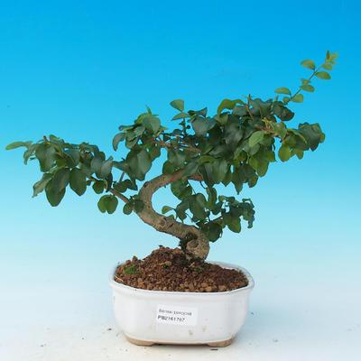Room bonsai -Ligustrum chinensis - Bird's eye - 1