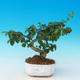 Room bonsai -Ligustrum chinensis - Bird's eye - 1/3