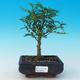Room bonsai - Zantoxylum piperitum - pepper - 1/4