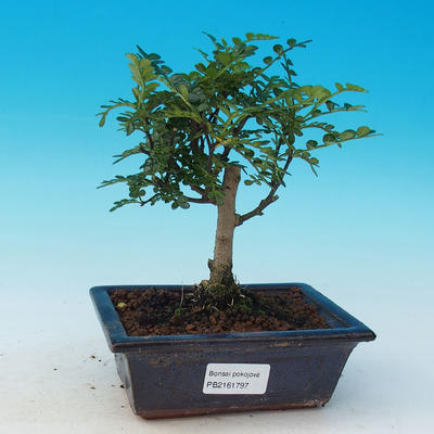 Room bonsai - Zantoxylum piperitum - pepper - 1