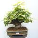 Outdoor bonsai - Hornbeam - Carpinus betulus - 1/5
