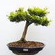 Outdoor bonsai - Boxwood - 1/5