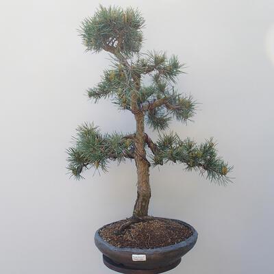 Outdoor bonsai - Pinus sylvestris Watereri - Scots Pine - 1