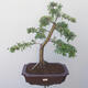 Outdoor bonsai - Hawthorn - 1/5