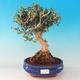 Room bonsai - Olea europaea sylvestris -Oliva European drobnolistá - 1/6