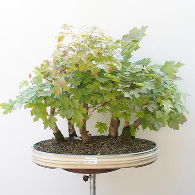 Acer campestre, acer platanoudes - Baby maple, maple - 1
