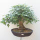 Acer campestre - Baby Maple - 1/5