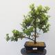 Outdoor bonsai - Rhododendron sp. - Pink azalea - 1/4