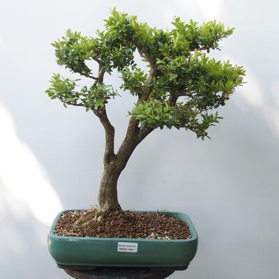 Outdoor bonsai - Boxwood - 1