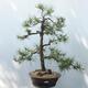 Outdoor bonsai - Pinus sylvestris - Scots pine - 1/4