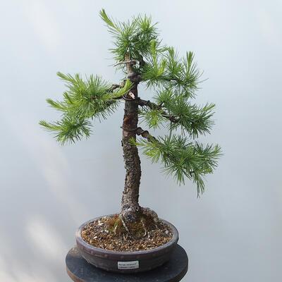 Outdoor bonsai - Larix decidua - Larch - 1