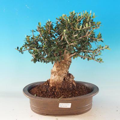 Room bonsai - Olea europaea sylvestris -Oliva European drobnolistá - 1