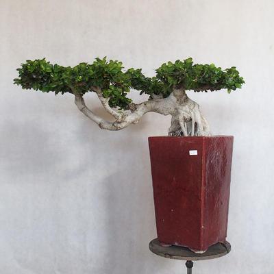 Room bonsai - Ficus nitida - small ficus - 1