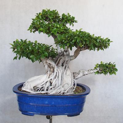 Room bonsai - Ficus kimmen - little ficus - 1