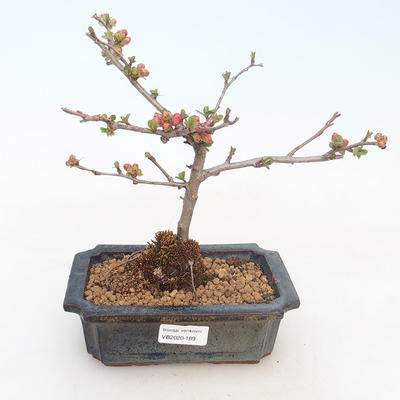 Outdoor bonsai - Chaenomeles spec. Rubra - Quince VB2020-189 - 1